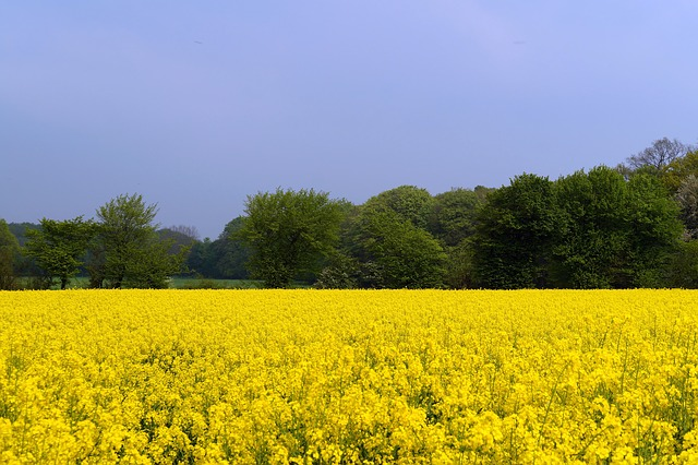 field-of-rapeseeds-332515 640